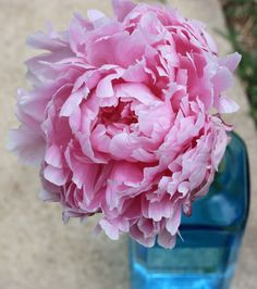 Peony—want to learn how to grow these