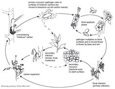Figure 8. The disease cycle of the early blight pathogen