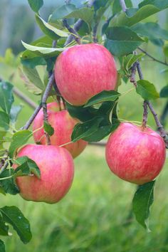 Fruits And Vegetables Pictures, Vegetable Pictures, Fruit Picture, Mango Tree, Fruit Photography, Apple Fruit, Exotic Fruit, Coffee And Books, Fruit Garden