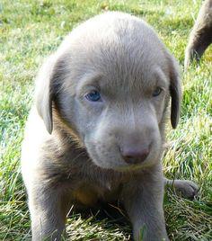 Silver Lab Puppy! via silvervalleykennels.com