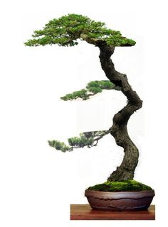 how to literati bonsai - Google Search