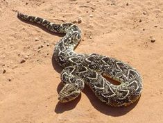 Puff Adder - Common, Dangerous, African Snake