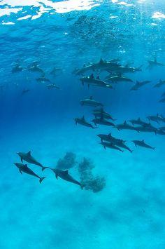 ba58139c865  Dolphins   Sataya by Bigeye Bubblefish Deep Blue Sea