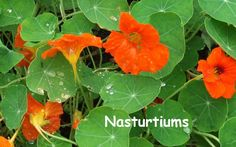 Nasturtiums make a great addition to any garden. The bright and sunny flowers are great for salads and the leaves are a natural antibiotic. It's win win all around.
