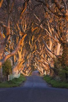 The Dark Hedges, 300 year old Beech trees, line the Breagah Road in Northern Ireland. Photo by Phill Monson