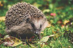 Over gratis billeder for Dyr og Natur Hedgehog Art, Hedgehog Animal, Hedgehog Food, Animals Images, Nature Animals, Cute Animals, Wildlife Nature, Wild Animals, Woodland Creatures