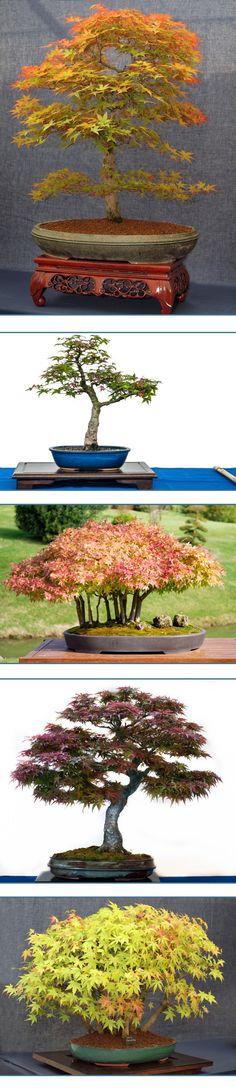 arce-japones-bonsai