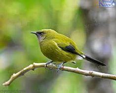 Korimako/Bellbird On Branch At Zealandia digital image, photo Bird Drawings, Drawing Birds, Aluminum Uses, Bird Feathers, Beautiful Birds, Order Prints, Digital Image, New Zealand, Vibrant Colors