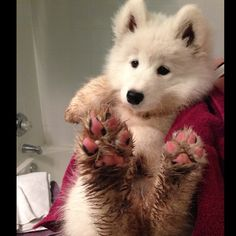Samoyed cutie