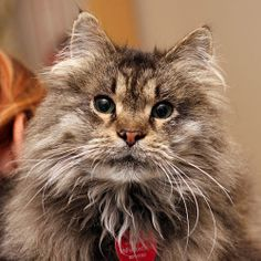 JASPURR is an adoptable Maine Coon Cat in Grand Rapids, MI. When Michelle Hoey-Heath stumbled across this bedraggled cat outside of her mom's house in EGR, she couldn't believe her eyes, as this poor ...