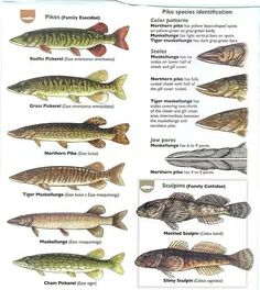Green Bar, Green And Grey, Vertical Bar, Types Of Fish, Fishing Tips, Color Patterns, Sculpture Art, Pisces, Animals