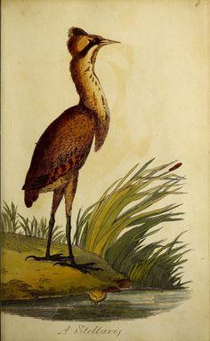 British ornithology :. Norwich :Bacon,1815-22.. biodiversitylibrary.org/page/48424515