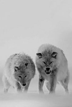 Snarling wolves