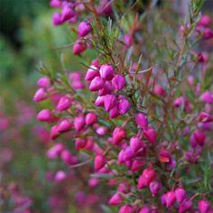 Boronia heterophylla - Boronie à floraison estivale rose spectaculaire