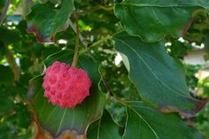 Wild Harvests: Kousa Dogwood, another urban wonder. I tried some in Maryland and found it full of pit-like seeds coated in a gritty fruit with a pudding-consistency. Kousa Dogwood Fruit, Dogwood Trees, Fruit Flowers, Edible Flowers, Red Fruit, Exotic Fruit, Wild Edibles, Nepal, Tropical