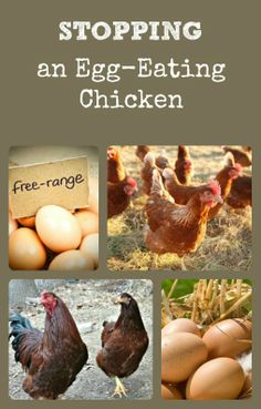 How to Stop an Egg Eating Chicken
