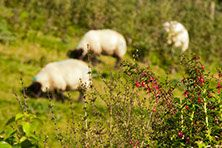Fuscias and Blurry Sheep near The Tavern Sheep