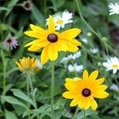 """Rudbeckia 'Indian Summer' - Large 3' plant with large 6""""+ flowers. I started from seeds & March 25, '17 planted a dozen in front flower bed at base of crepe Myrtle. They doubled in size in 1 week of being planted out. (tbb)"""