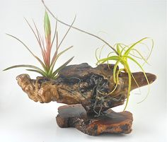 Red Manzanita Burl // Air Plant Centerpiece // by TheLivingArt, $45.00