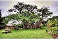 樹齢6000年のバオバブの木の中にあるバー   roomie(ルーミー)