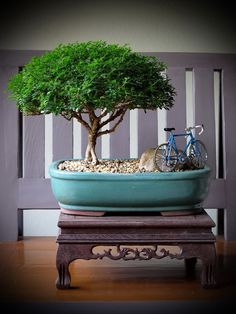 Thanks nature's Hobby : Bonsai บอนไซ shohin mame miniature #Bonsai