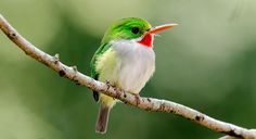 "Puerto Rican Tody (Todus mexicanus) - photo by Mike Morel;  Despite its scientific name, this little bird is endemic to Puerto Rico. It is commonly known locally as ""San Pedrito"" (""Little Saint Peter"").  It is green with yellow flanks, a bright yellowish-white belly, a red throat and lower mandible, and a long beak.  It is the smallest of the todies – about 4"" long.  Males and females can be distinguished by the color of their eyes: males have gray eyes and females have white.   - Wikipedia"