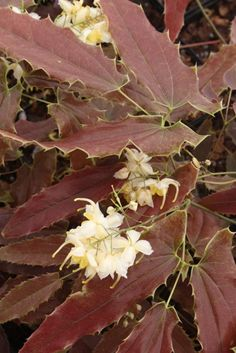 Epimedium wushanense 'Sandy Claws' (Sandy Claws Fairy Wings)