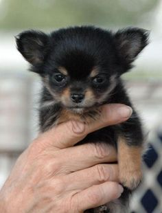I would name them Slippers Chihuahua Puppies, Cute Puppies, Cute Dogs, Dogs And Puppies, Pomeranians, Cute Animal Pictures, Baby Dogs, Honeydew, Haiku