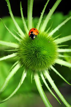 Ladybird on teasel➕More Pins Like This At FOSTERGINGER @ Pinterest✖️