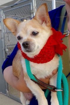 SAFE---  Balanced Buddies ResQ--SUPER URGENT 07/30/16** **SENIOR ALERT** SICK-- LINDA – A1083442  FEMALE, BROWN / WHITE, CHIHUAHUA SH MIX, 15 yrs OWNER SUR – EVALUATE, NO HOLD Reason PET HEALTH Intake condition EXAM REQ Intake Date 07/30/2016, From NY 10453, DueOut Date 07/30/2016,