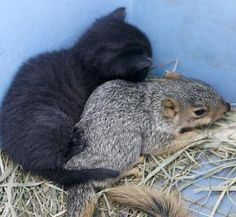 Jingles, has taken in a small squirrel that she nurses with her other kittens in Apple Creek.