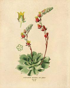 11x14 Vintage Flower Botanical Print. Flowering by curiousprints, $18.00