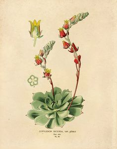 Vintage Flower Botanical Reproduction Print. Flowering Succulent. Biology Chart Educational Plate Cactus Desert Plant Poster- CP208