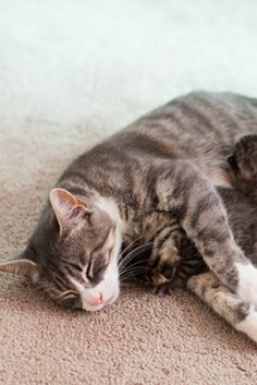 Grieving Mama Cat Who Lost All Three Babies Matched With Three Abandoned Kittens
