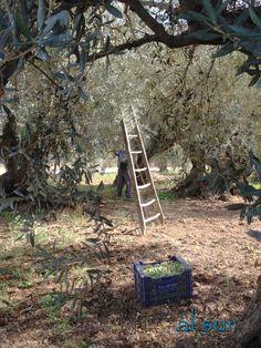 La cocina malagueña-Alsurdelsur Mediterranean Garden, Olive Tree, Palestine, Provence, Olive Oil, Harvest, The Incredibles, Outdoor Decor, Nature