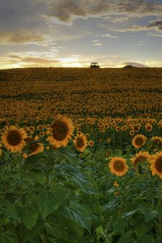 Sunset Sunflowers - North Dakota