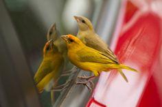 Foto canário-do-amazonas (Sicalis columbiana) por Daniel Perrella | Wiki Aves - A Enciclopédia das Aves do Brasil