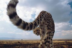 Cheetah from the back. セレンゲティ大接近 | ナショナル ジオグラフィック(NATIONAL GEOGRAPHIC) 日本版公式サイト