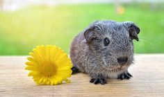 Guinea Pig, Smooth Hair, Silver
