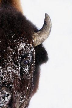 #Bison #Animals