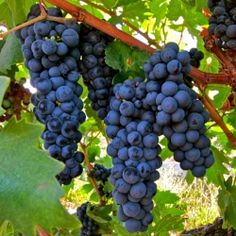 The Fun Facts and History of Zinfandel
