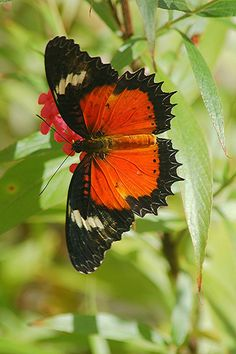 The Malay Lacewing (Cethosia hypsea) is a butterfly of the Nymphalidae family. It is found in from Burma to Indonesia and the Philippines. The wingspan is about 80 mm. Adults are bright orange-red above with broad black borders, warning predators of their toxicity.