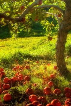 Orchard I would Love to have an apple tree in my future backyard someday!I would Love to have an apple tree in my future backyard someday! Ed Wallpaper, Tree Photography, Apple Tree, Fruit Trees, Fruit Fruit, Farm Life, Belle Photo, Mother Nature, Beautiful Places