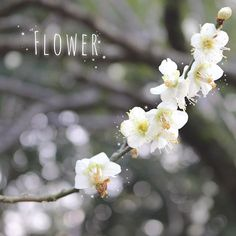 【nyntm.29】さんのInstagramをピンしています。 《⑅ まだあんまり咲いてなかった😭 満開になる頃絶対行く!! ⑅ #花#これは何の花なのかわからない #桜 ではないよね #梅 でもなさそう #白いお花#かわいいからいい #公園#写真#カメラ#キラキラ #flower#camera#park#love #cute#good#camera#instagram》