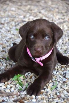 .Lab puppy watching you!