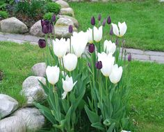 love the contrast of light & dark, large & small headed tulips for this border.