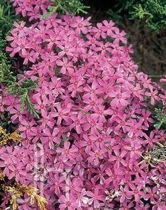Long-lived, low-growing mats of evergreen foliage with tremendous spring blooms. Perfect for edging, in rock gardens, or planted along slopes. Crimson flowers with a dark red eye. Hardy Zones 2-9. Mat