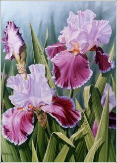 Rose Princess Iris - Oil painting by Judy Sleight Judy Sleight, Artist in Oils - Sale Gallery paintings of blue iris flowers - Yahoo Image Search Results Blue Iris Flowers, Spring Flowers, Iris Painting, China Painting, Art Floral, Watercolor Flowers, Watercolor Paintings, Easy Paintings, Your Paintings