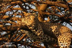One of the resident leopards resting in the afternoon sun | Mara Plains Camp