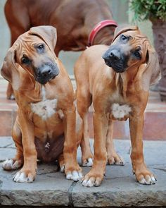 666 Fragments Of A Dying Planet Rhodesian Ridgeback Puppies, Huge Dogs, Cute Dog Pictures, Animal Posters, Tier Fotos, Dogs And Puppies, Doggies, Family Dogs, Beautiful Dogs